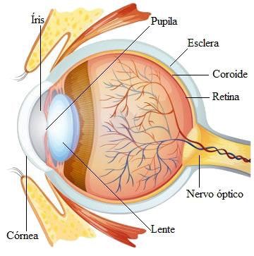 estrutura do olho